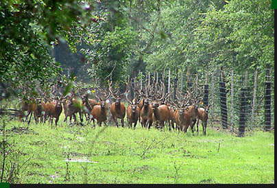In And Out Prices >> Elk and red deer hunting specials in Florida hunting preserve.
