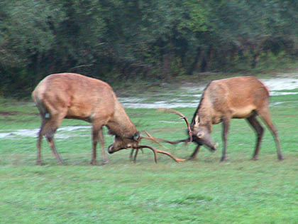Fighting Between Elk Bulls And Red Deer Stags