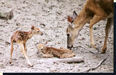 Whitetail Fawns Behavior And Environment