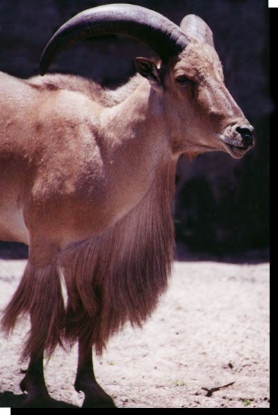 Aoudad, Ammotragus lervia, also know as the Barbary Sheep