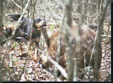 Bay dogs hunting a Florida wild boar hog