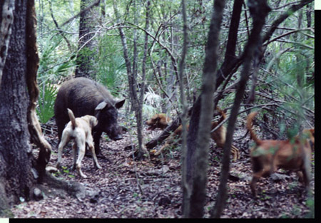 Florida wild boar attacking cur dogs