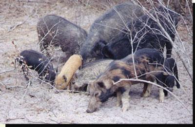 Florida wild boar, their diet and their predators.