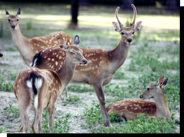 Coat Colors Of Sika Deer Photographic Images And Facts On